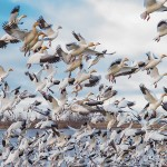 Flock of Snow Geese taking flight.