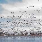 Flock of Snow Geese in-flight