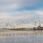 Flock of Snow Geese about to land on the frozen lake
